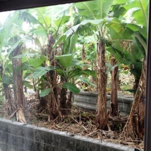 壮大なる庭造り宣言!  和室から眺めるバナナの木